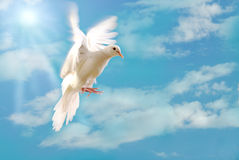 Flying white dove isolated on blue. White dove flying peace symbol blue background love Stock Photo