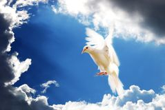 Flying white dove isolated on blue. White dove flying peace symbol blue background love Royalty Free Stock Photography