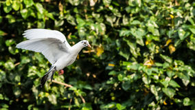 Flying White dove. Peace dove flying Stock Photo