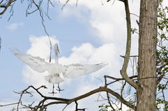 Flying White Egret. A flying white Egret bird royalty free stock photo