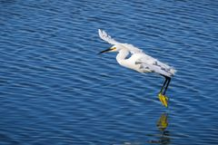 Flying White egret royalty free stock images