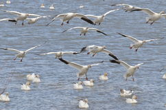 Flying white goose. On the river Stock Photography