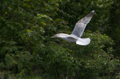 Flying white and grey seagull on a green background Stock Images