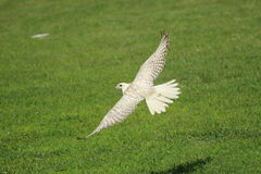 Flying white gyrfalcon Royalty Free Stock Photo