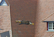Flying white-headed eagle. White-headed eagle flying before tiled roofs royalty free stock photo