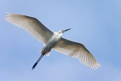 Flying white heron Royalty Free Stock Images
