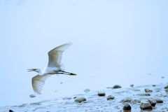 A flying White little Egret Stock Photos