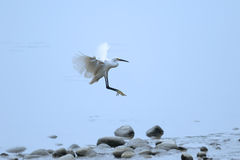A flying White little Egret Royalty Free Stock Images