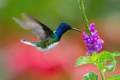 Flying White-necked jacobin. The hummingbird is soaring and drinking the nectar from the beautiful flower in the rain forest environment. Flying White-necked royalty free stock photography