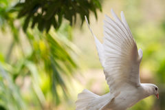 Flying white Pigeon in the rain forest of Hainan Island (China).  Royalty Free Stock Photography