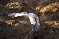 Flying white scavenger vulture Royalty Free Stock Image