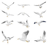 Flying seagull. Flying white seagull on white background Royalty Free Stock Photo