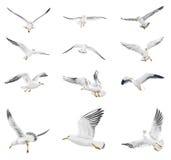Flying seagull. Flying white seagull on white background stock illustration