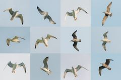 Flying White Seagulls In Sky. Set Photos. Royalty Free Stock Photo