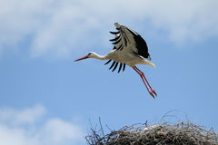 Flying White Stork Royalty Free Stock Images