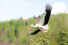 Flying white stork. (lat Ciconia ciconia Royalty Free Stock Photography