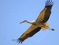Flying White Stork Royalty Free Stock Image