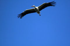 Flying white stork. In the blue sky Stock Photography