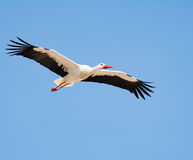 Flying white stork with blue sky Royalty Free Stock Photography