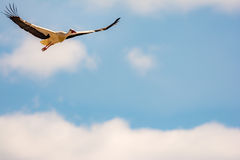 Flying white stork with blue sky Stock Images