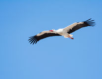 Flying white stork with blue sky Stock Image