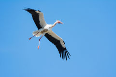 Flying white stork with blue sky Stock Photos
