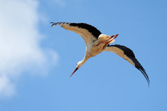 Flying White Stork - Ciconia Ciconia Stock Images