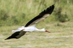 Flying white stork Royalty Free Stock Photo