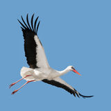 Flying white stork. (Ciconia ciconia) in blue sky Stock Image