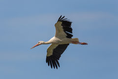Flying white stork (Ciconia ciconia) in blue sky Royalty Free Stock Photography