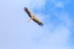 Flying White Stork on clear blue sky background Stock Photos