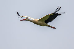 Flying white Stork on cloudy background Stock Photography