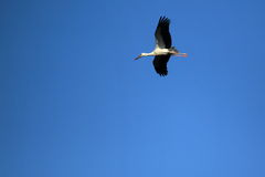 Flying white stork Royalty Free Stock Image