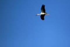 Flying white stork. On the dark blue sky Royalty Free Stock Image