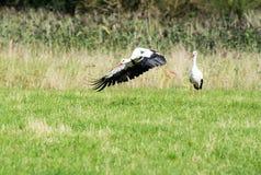 Flying White Stork Stock Images