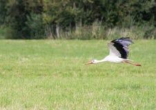 Flying White Stork Royalty Free Stock Photography