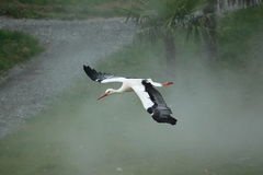 Flying white stork Stock Image
