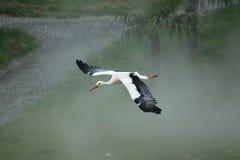 Flying white stork. Over the misty grassland Stock Image
