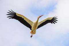 Flying white stork. Seen from down under. Spread out wings Stock Photos