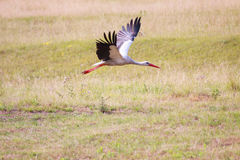 Flying white stork. Spread out wings. Royalty Free Stock Photography