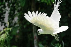Flying white Sulphur-crested cockatoo in green foliage blurred background stock photos