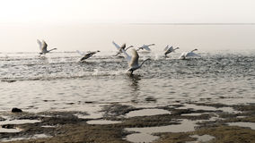 Flying white swans open wings Royalty Free Stock Photography