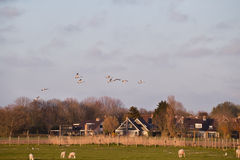 Flying white swans over farmland Stock Photos