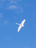 Flying White Whooper Swan spread wings in clear blue sky Stock Image