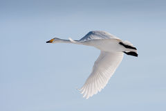 Flying whooper swan Royalty Free Stock Photography