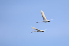 Flying whooper swan (Cygnus cygnus) couple on blue sky Royalty Free Stock Images