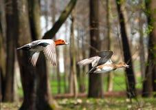 Flying wigeon ducks Stock Image