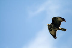 Flying wild birds Royalty Free Stock Images