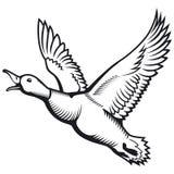 Flying wild duck  illustration. Stock Photos