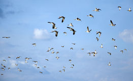 Bird migration. Flying flock of mallards in the sky. Wild ducks during autumn migration. Stock Photography